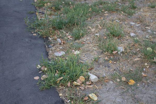Залишена під час скосу трави амброзія на прибудинковій території